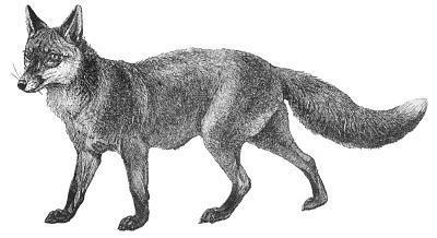 Free fox clipart 6