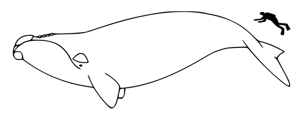 Whale  black and white free whale clipart black and white 3