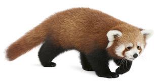 Young red panda or shining cat ailurus fulgens clip art