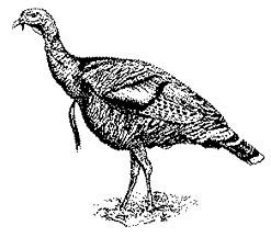 Turkey  black and white wild turkey clipart