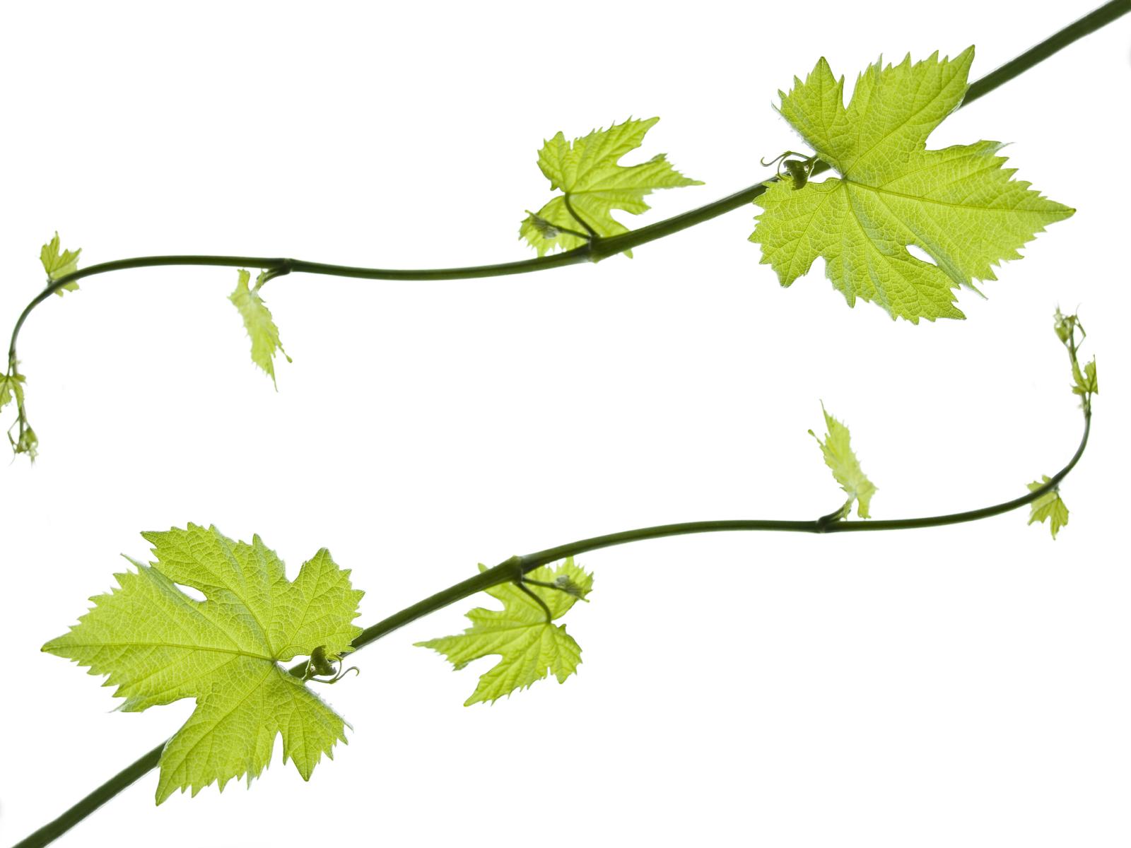 Grapes clip art grapes clipart fans 4