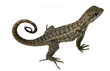 Lizard clipart 8