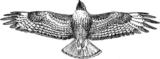 Free hawk clipart 2