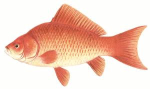 Goldfish clip art download
