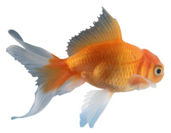 Goldfish clipart 13