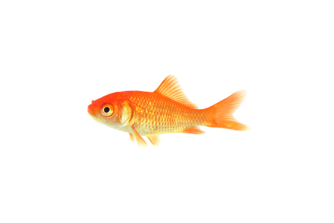 Goldfish clipart the cliparts