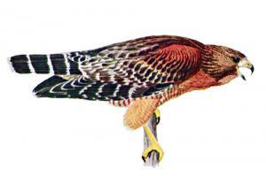 Hawk clip art clipart 5 clipart