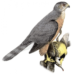 Hawk clipart images free