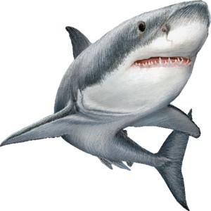 White shark clipart image 9