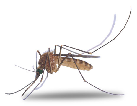 Mosquito clipart free images