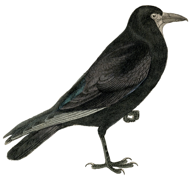 Crow clip art clipart photo clipart