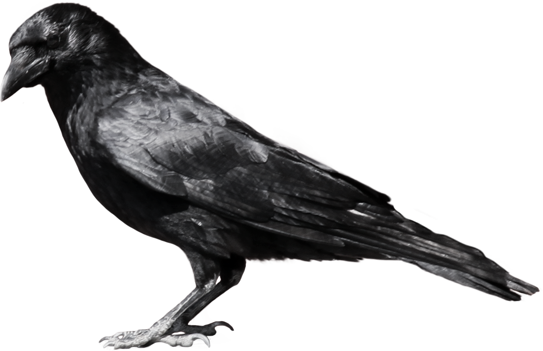 Crow clipart birds and clip art photo crowclipart 3 clipartbarn