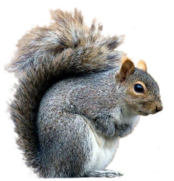 Grey squirrel clipart clip art library