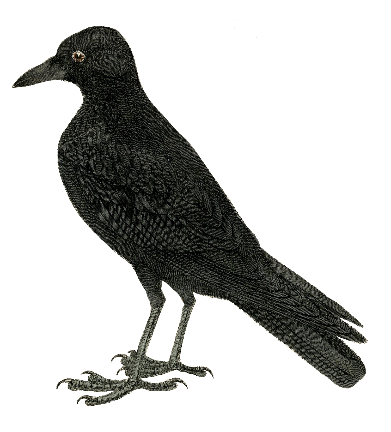 The crow clipart clipart