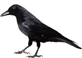 The crow images on crows ravens and clipart