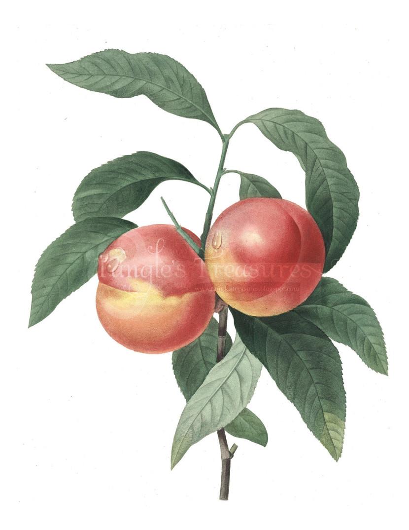 Peach clip art 5