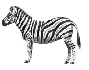 Free zebras clipart graphics images and photos