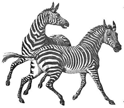 Zebra clip art page 2 clipartandscrap