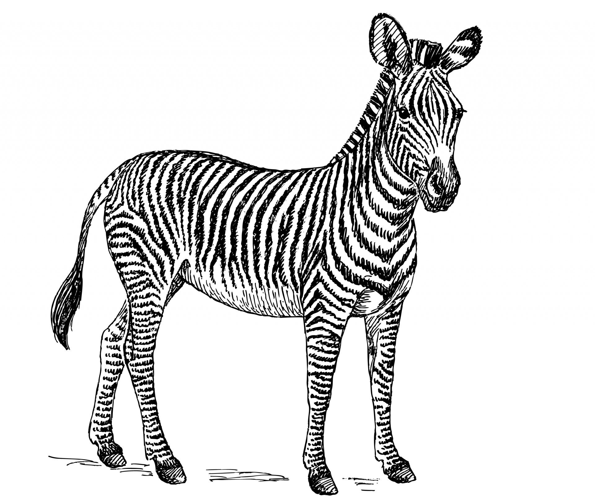 Zebra clipart 2